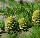 Free Photo - Japanese larch