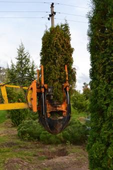 Transplanting thuja tree - Free Stock Photo