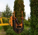 Free Photo - Transplanting thuja tree