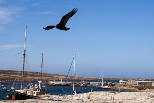 turkey vulture flying over harbour - Free Stock Photo