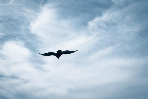 turkey vulture flying - Free Stock Photo