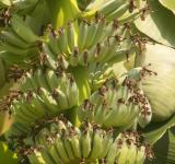 Free Photo - Banana Bunch