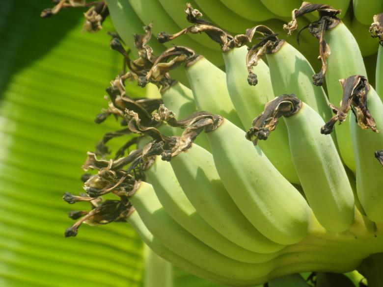 Free Stock Photo of Banana Bunch Created by Ivan