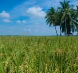 Free Photo - Rice Field