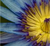 Free Photo - Waterlily flower close up