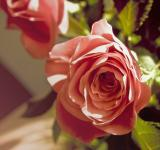 Free Photo - Pink rose flower