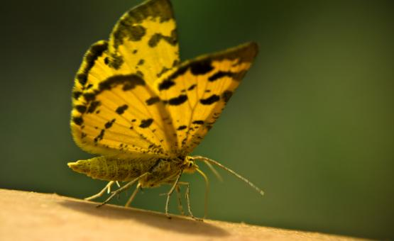 Yellow butterfly close up - Free Stock Photo