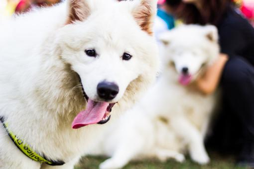 Samoyed Dog - Free Stock Photo