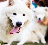 Free Photo - Samoyed Dog