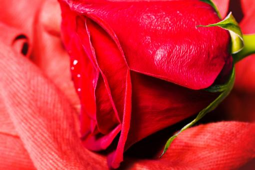 Red rose - Free Stock Photo