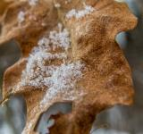 Free Photo - Oak leaf macro