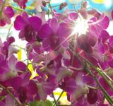 Free Photo - Orchid Sunburst