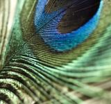 Free Photo - Peacock feather macro