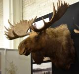 Free Photo - Moose trophy head