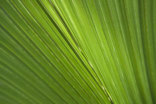 Palm leaf - Free Stock Photo