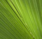 Free Photo - Palm leaf