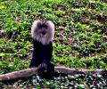 Free Photo - Lion-tailed macaque