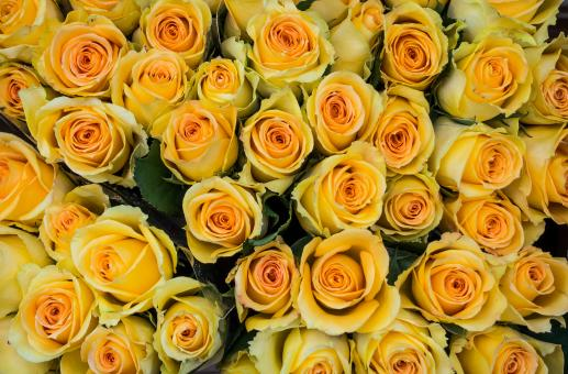 Yellow roses - Free Stock Photo