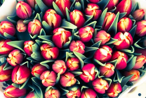 Tulips bouquets - Free Stock Photo