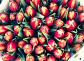 Free Photo - Tulips bouquets