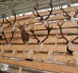 Free Photo - Trophy antlers