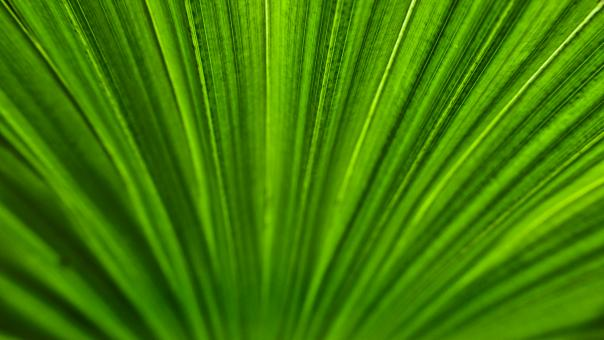 Palm leaf texture - Free Stock Photo
