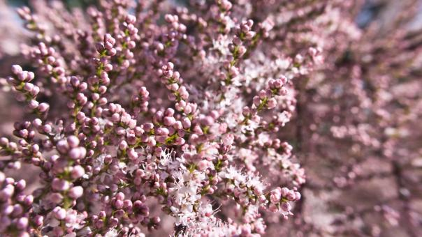 Tiny pink flowers - Free Stock Photo