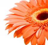 Free Photo - Red Gerbera