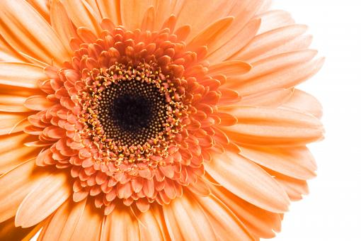 Gerbera Flower Closeup - Free Stock Photo
