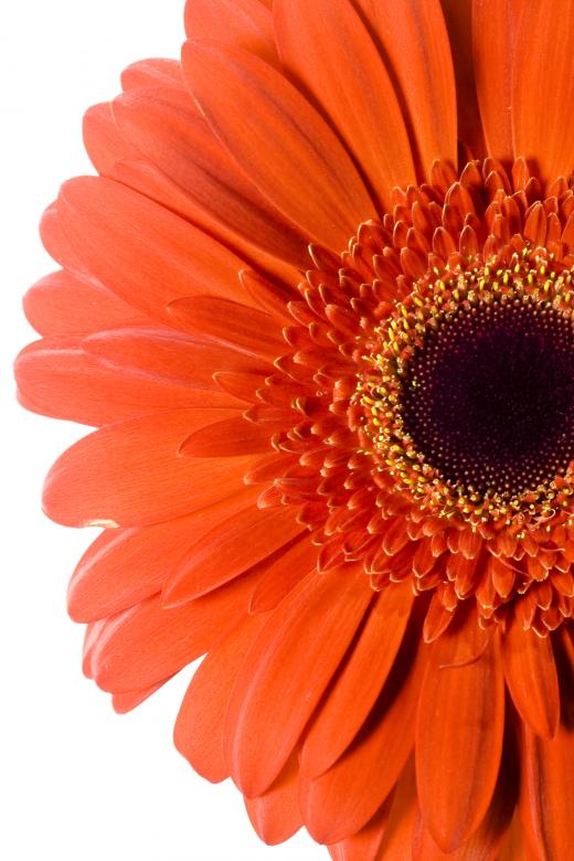 Free Stock Photo of Red Gerbera Created by 2happy