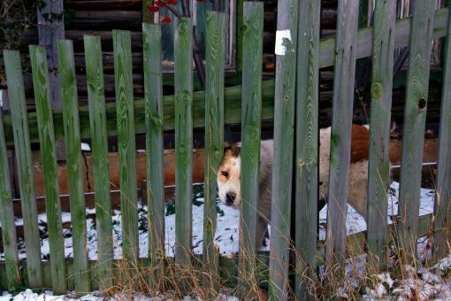 Dog looks through fence - Free Stock Photo
