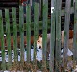 Free Photo - Dog looks through fence