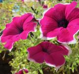 Free Photo - Purple petunia flowers