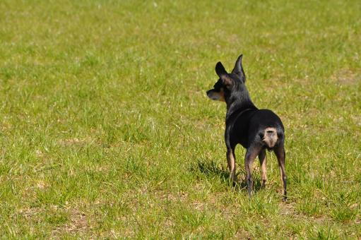 Toy terrier - Free Stock Photo