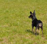 Free Photo - Toy terrier