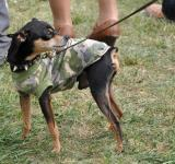 Free Photo - Punk toy terrier