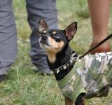 Free Photo - Dressed toy terrier