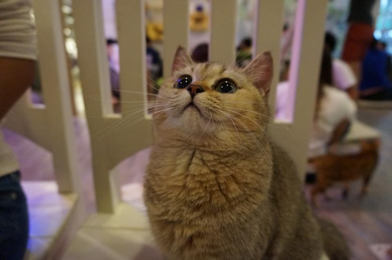 Free Stock Photo of British Shorthair Created by Hedwig Pinguinalité