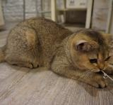 Free Photo - British Shorthair Playing