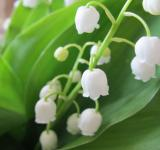 Free Photo - Lily of The Valley Flower