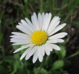 Free Photo - White Daisy flower
