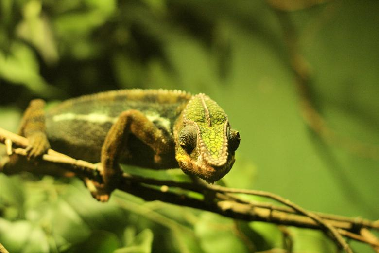 Free Stock Photo of Chameleon Created by Geoff Dallimore