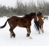 Free Photo - Horses in the snow