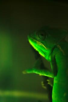 chameleon - Free Stock Photo