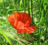 Free Photo - Red poppy flower