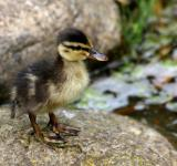 Free Photo - Duckling