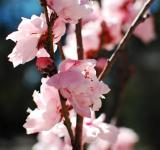 Free Photo - Pink Cherry Blossom Close-up