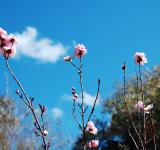 Free Photo - Pink Cherry Blossom Stalks