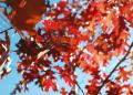 Free Photo - Maple Leaves over blue sky