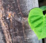 Free Photo - Heart Leaves over Wood